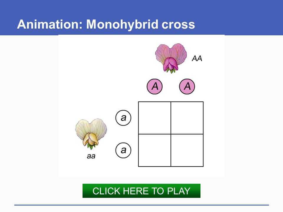 Animation: Monohybrid cross