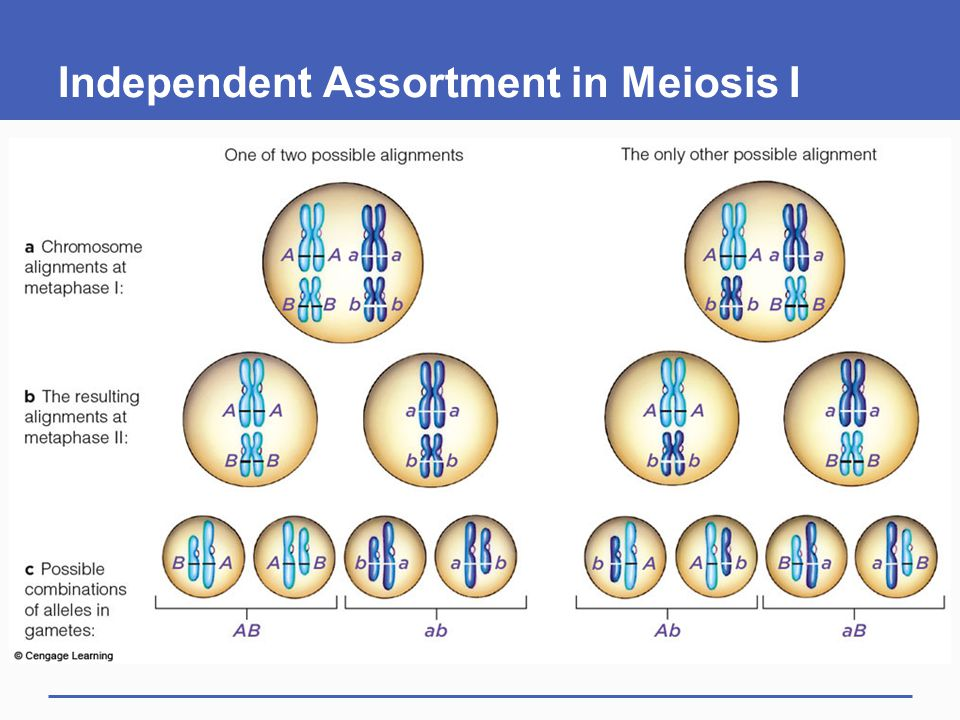 Independent Assortment in Meiosis I