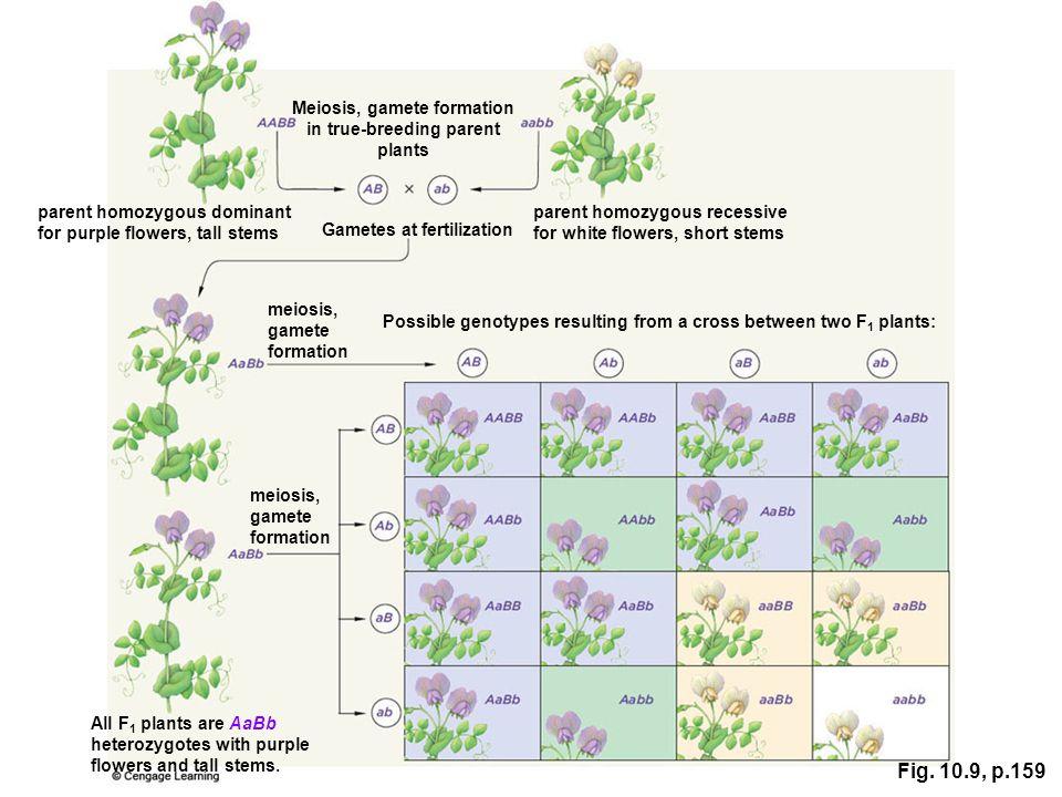 Meiosis, gamete formation in true-breeding parent plants