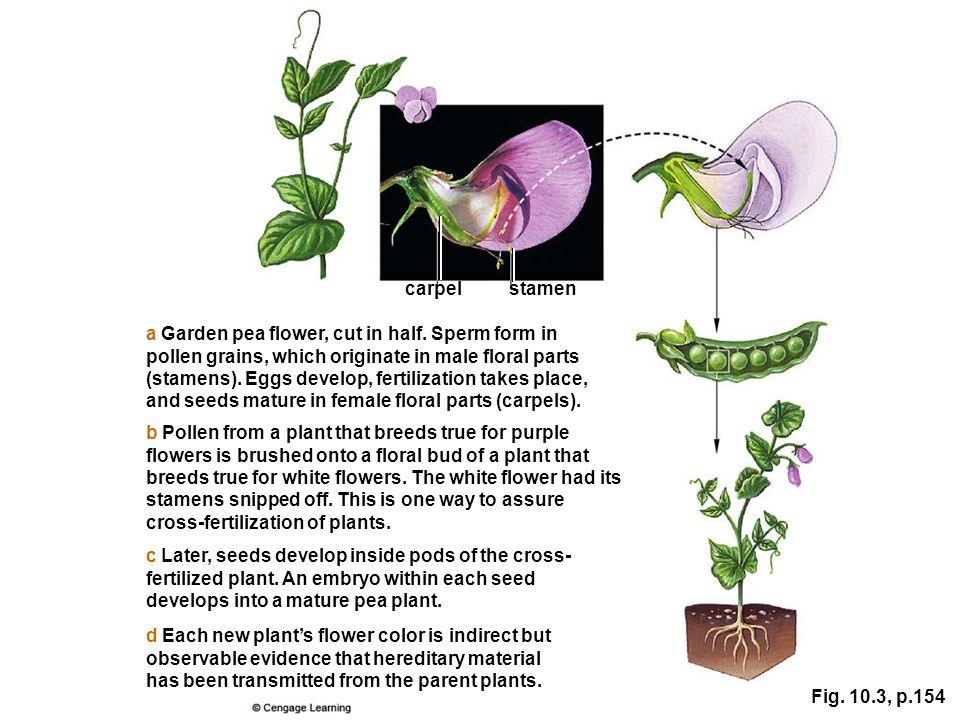 carpel stamen. a Garden pea flower, cut in half. Sperm form in. pollen grains, which originate in male floral parts.