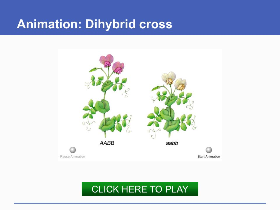 Animation: Dihybrid cross
