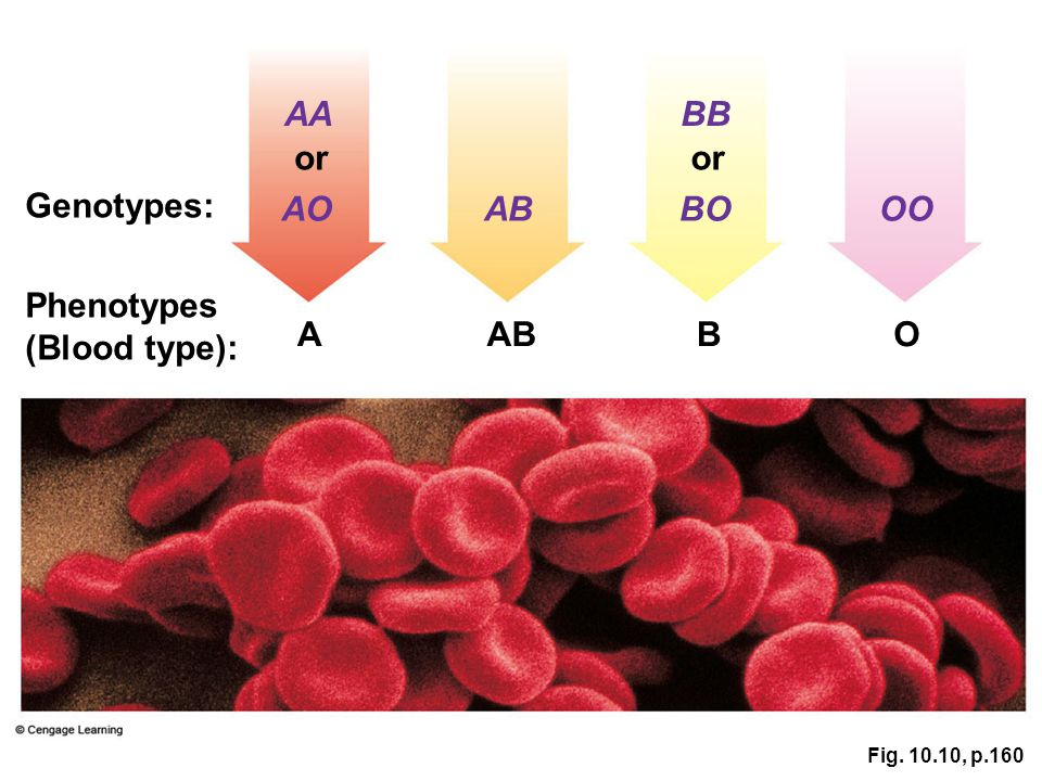 AA BB or or Genotypes: AO AB BO OO Phenotypes (Blood type): A AB B O