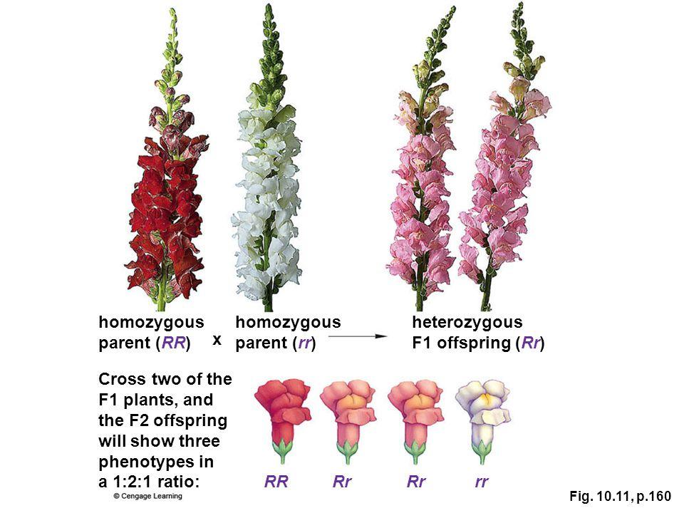 homozygous parent (RR) homozygous parent (rr) heterozygous
