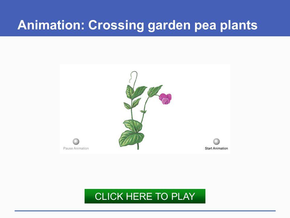 Animation: Crossing garden pea plants