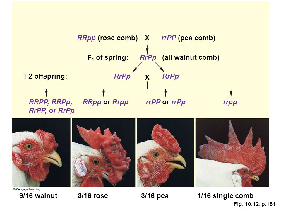 RRpp (rose comb) X rrPP (pea comb) F1 of spring: RrPp