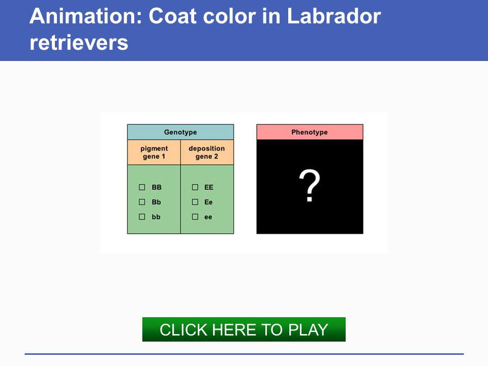 Animation: Coat color in Labrador retrievers