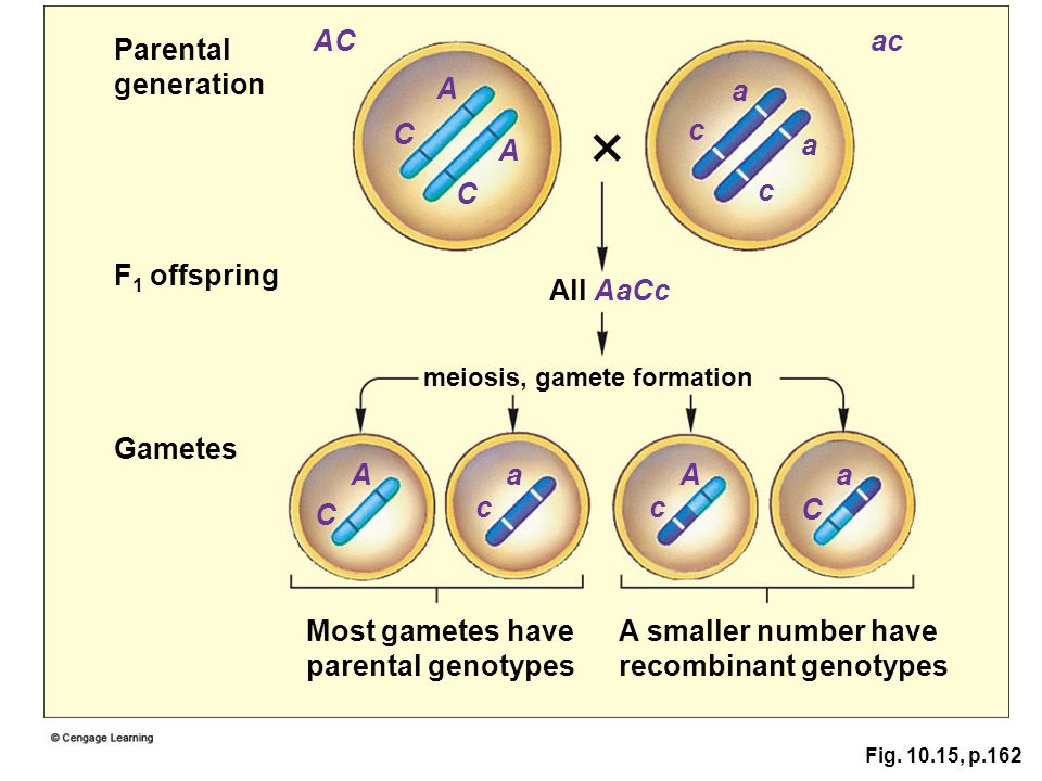 × AC ac Parental generation A a C c A a C c F1 offspring All AaCc