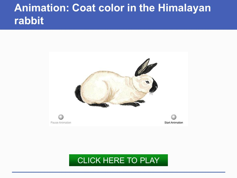 Animation: Coat color in the Himalayan rabbit