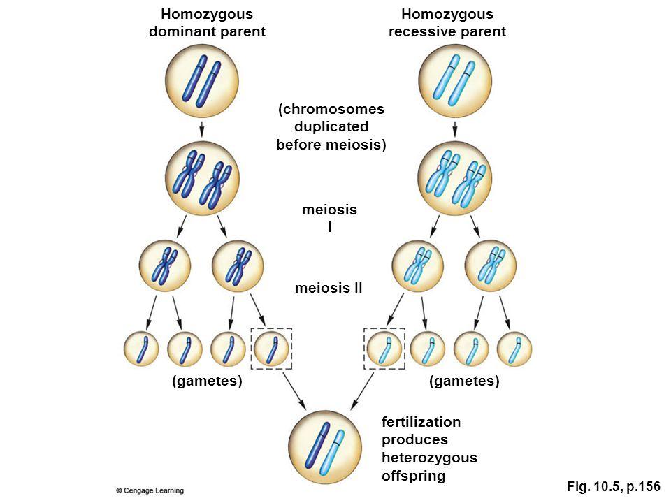 Homozygous dominant parent Homozygous recessive parent