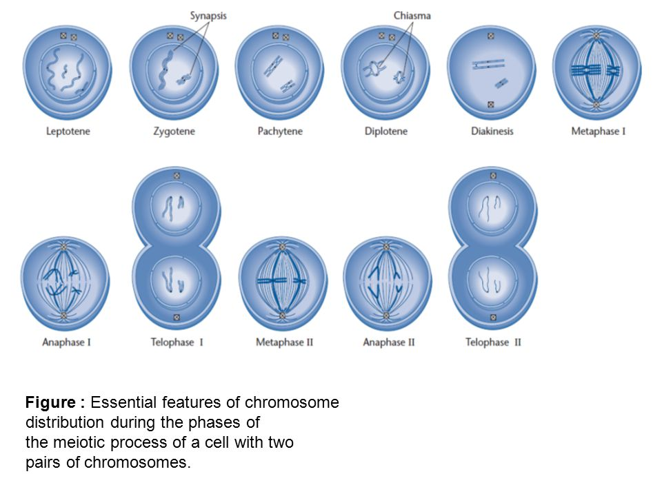Figure : Essential features of chromosome