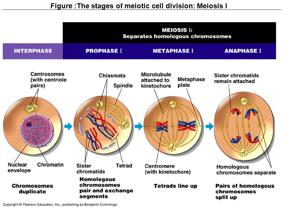 Figure :The stages of meiotic cell division: Meiosis I