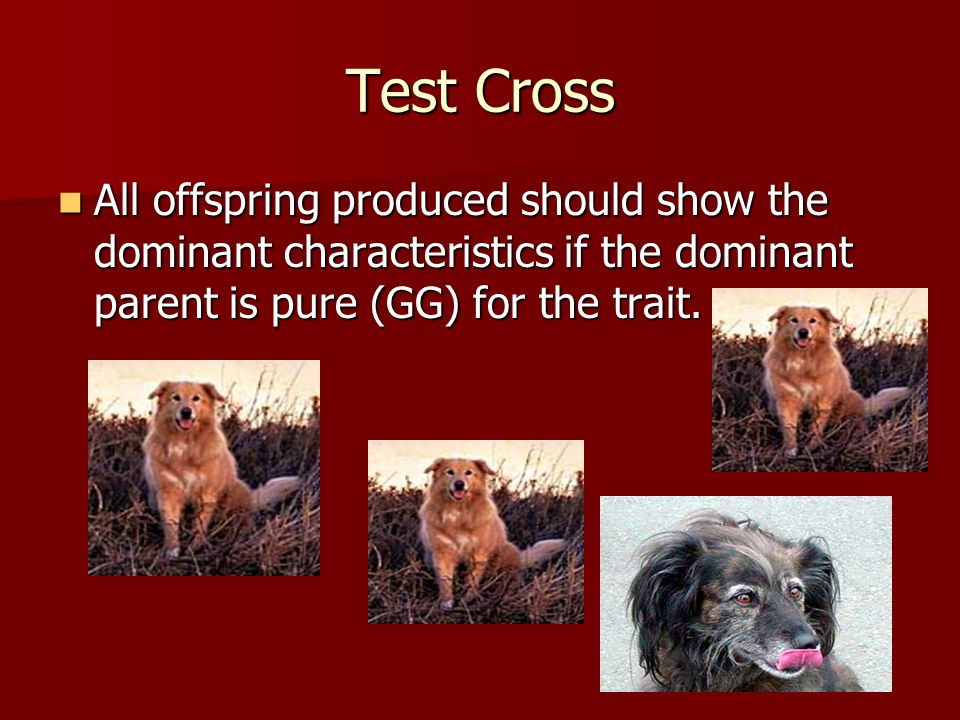 Test Cross All offspring produced should show the dominant characteristics if the dominant parent is pure (GG) for the trait.
