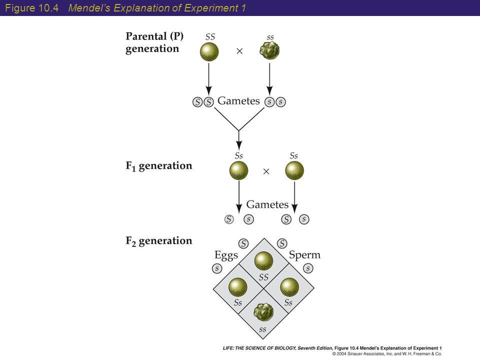 Figure 10.4 Mendel's Explanation of Experiment 1