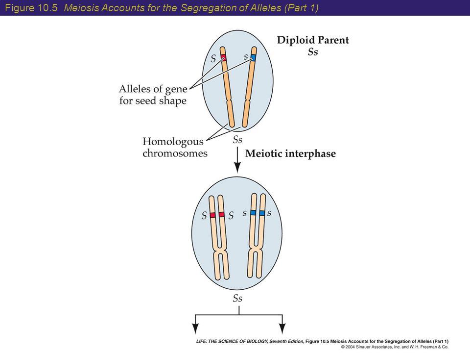 Figure 10.5 Meiosis Accounts for the Segregation of Alleles (Part 1)