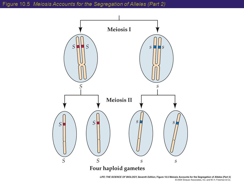 Figure 10.5 Meiosis Accounts for the Segregation of Alleles (Part 2)