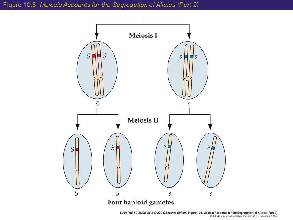 Figure 10.5 Meiosis Accounts for the Segregation of Alleles (Part 2)