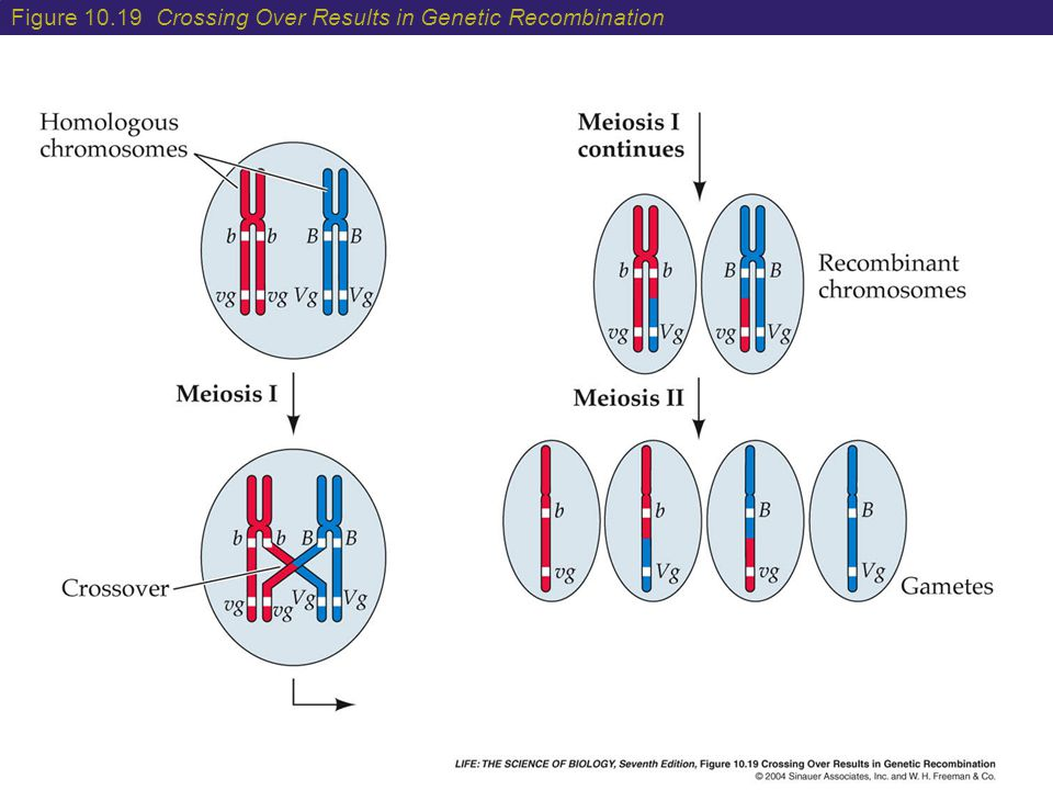 Figure 10.19 Crossing Over Results in Genetic Recombination