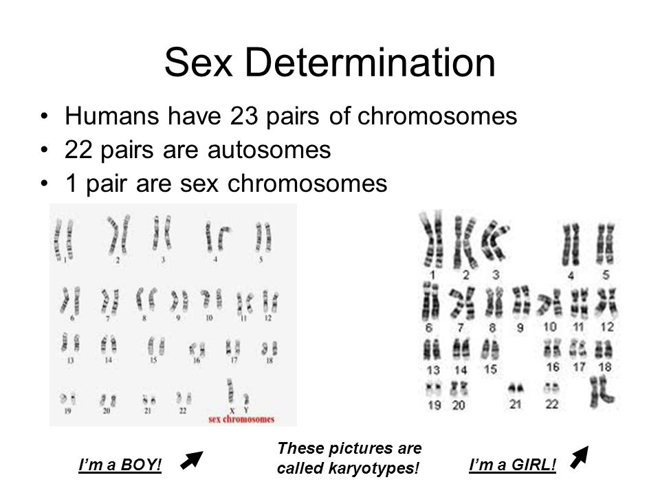 Sex Determination Humans have 23 pairs of chromosomes