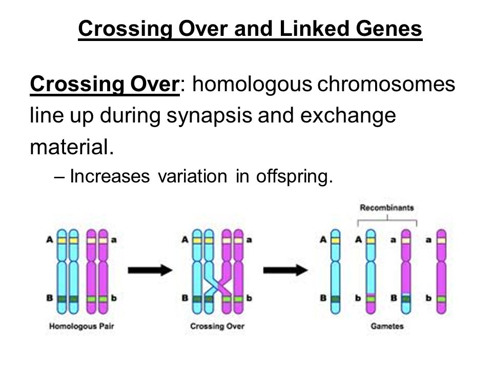 Crossing Over and Linked Genes