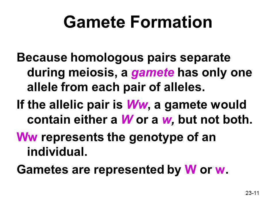 Gamete Formation Because homologous pairs separate during meiosis, a gamete has only one allele from each pair of alleles.