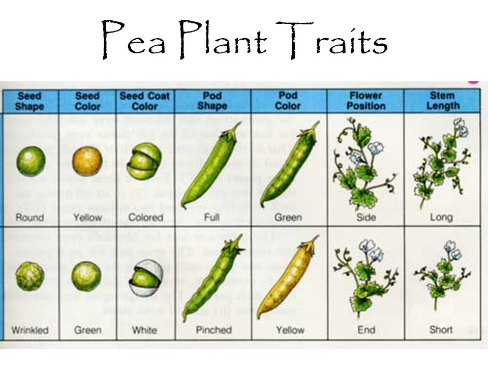 Pea Plant Traits