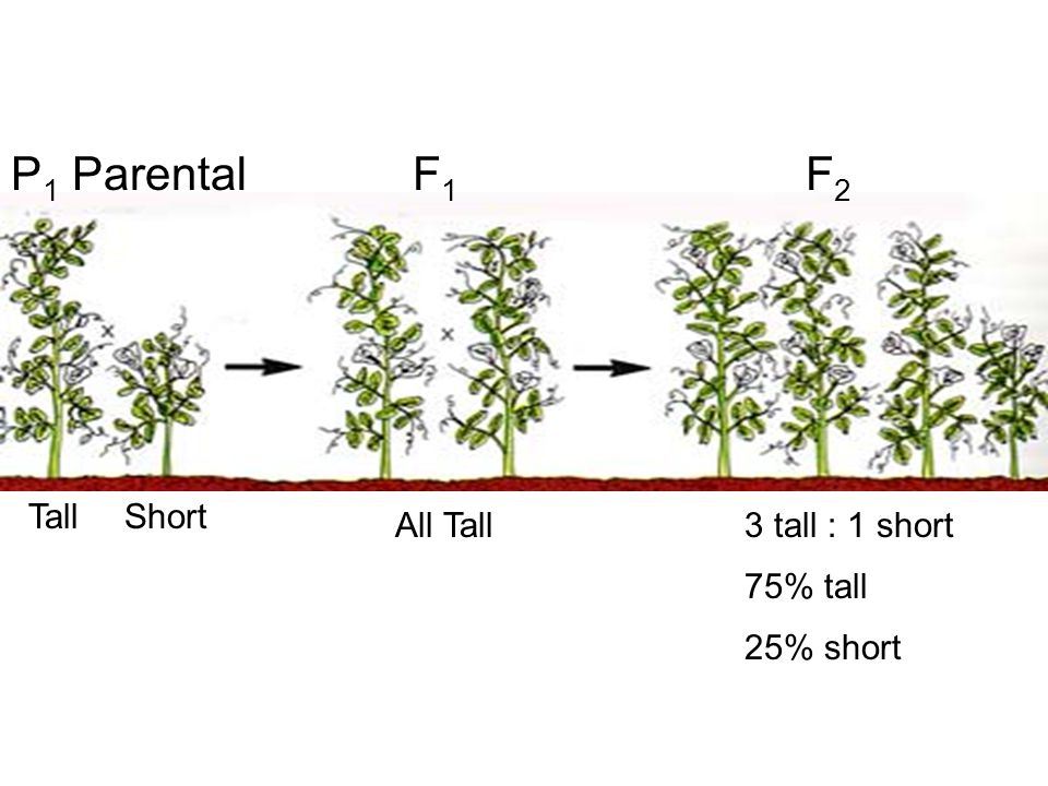 P1 Parental F1 F2 Tall Short All Tall 3 tall : 1 short 75% tall