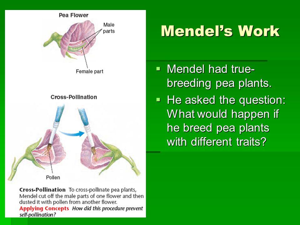 Mendel's Work Mendel had true- breeding pea plants.