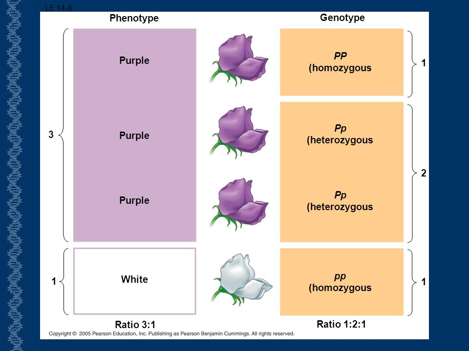 Phenotype Genotype PP (homozygous Purple 1 Pp (heterozygous 3 Purple 2