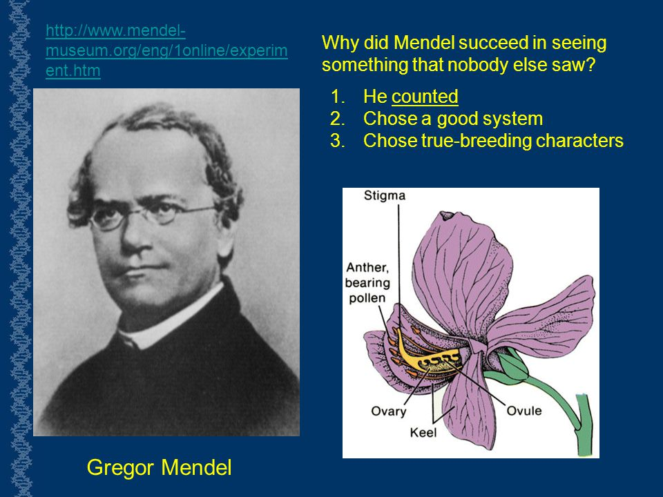 http://www.mendel-museum.org/eng/1online/experiment.htm Why did Mendel succeed in seeing something that nobody else saw