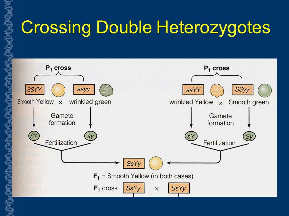 Crossing Double Heterozygotes