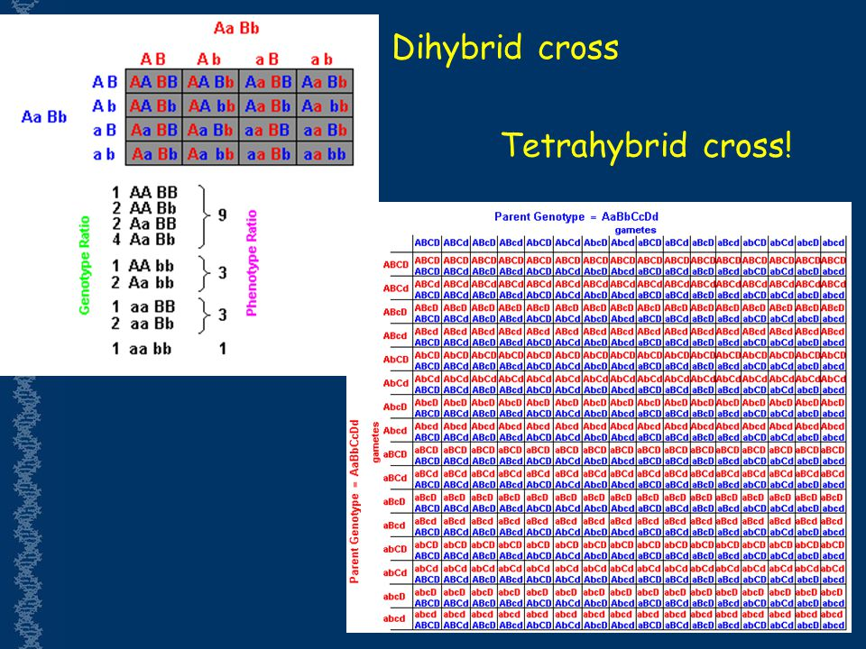Dihybrid cross Tetrahybrid cross!