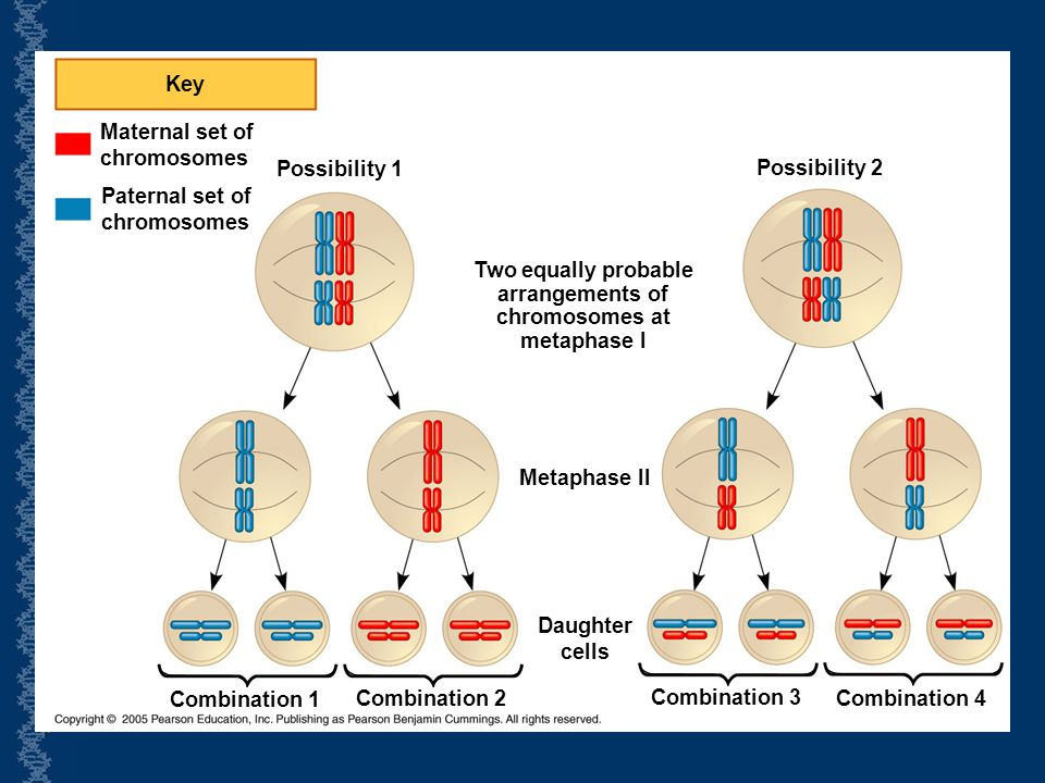 Key Maternal set of. chromosomes. Possibility 1. Possibility 2. Paternal set of. chromosomes. Two equally probable.