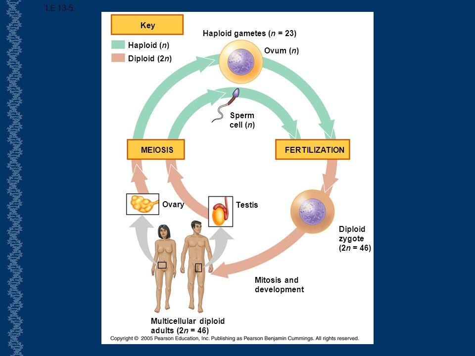 LE 13-5 Key. Haploid gametes (n = 23) Haploid (n) Ovum (n) Diploid (2n) Sperm. cell (n) MEIOSIS.