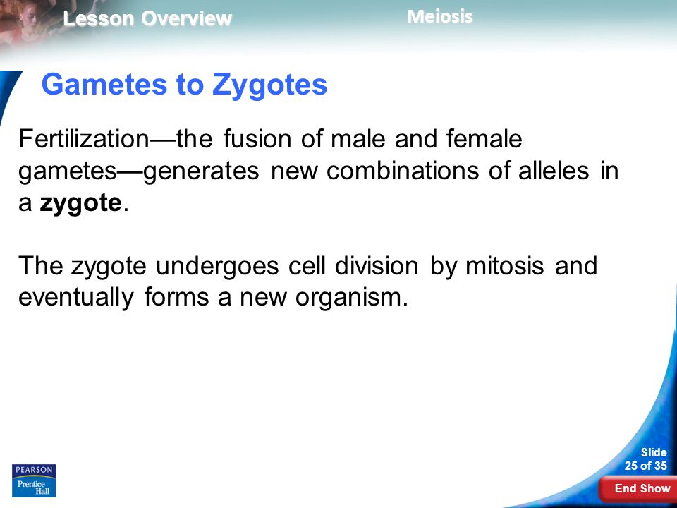 Gametes to Zygotes Fertilization—the fusion of male and female gametes—generates new combinations of alleles in a zygote.