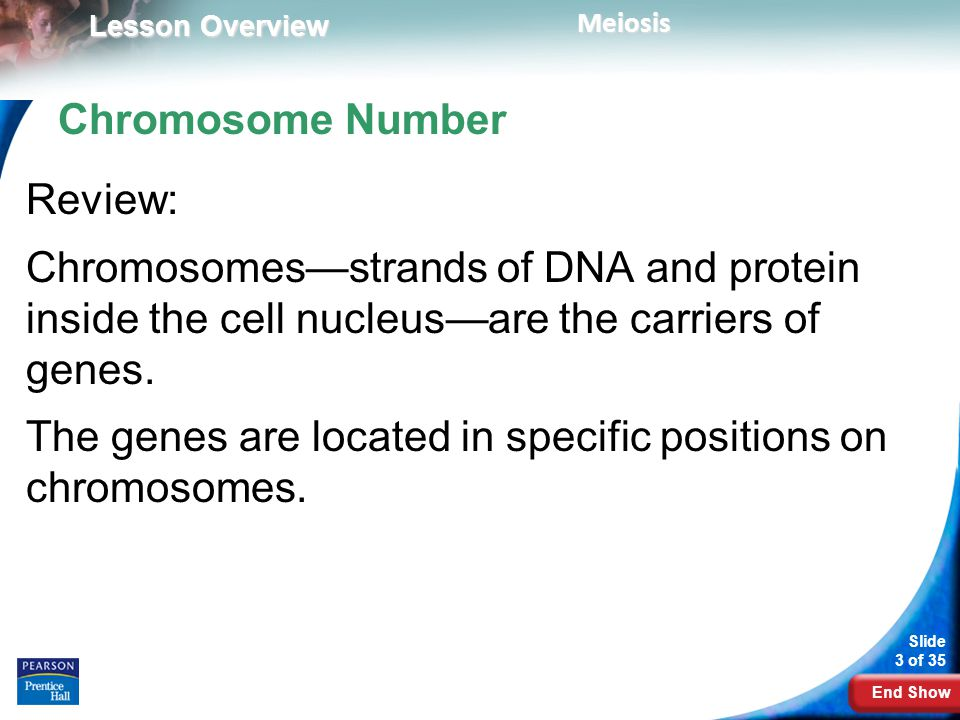 Chromosome Number Review: Chromosomes—strands of DNA and protein inside the cell nucleus—are the carriers of genes.