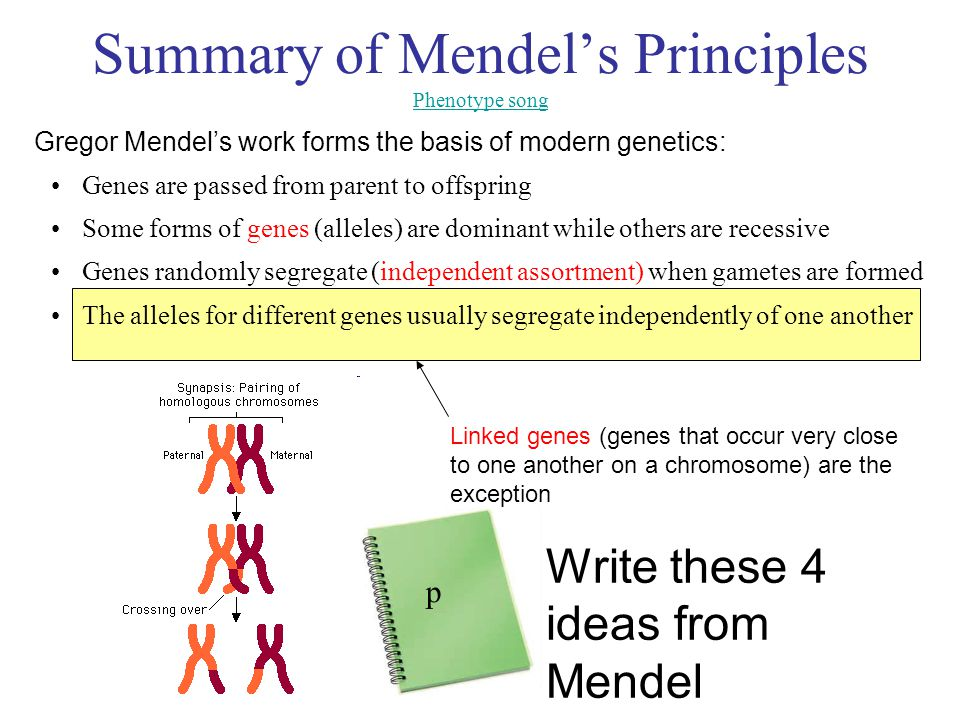 Summary of Mendel's Principles Phenotype song