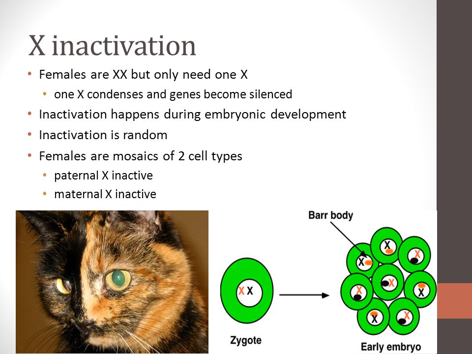 X inactivation Females are XX but only need one X