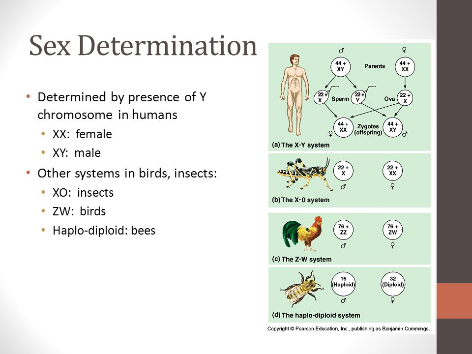 Sex Determination Determined by presence of Y chromosome in humans
