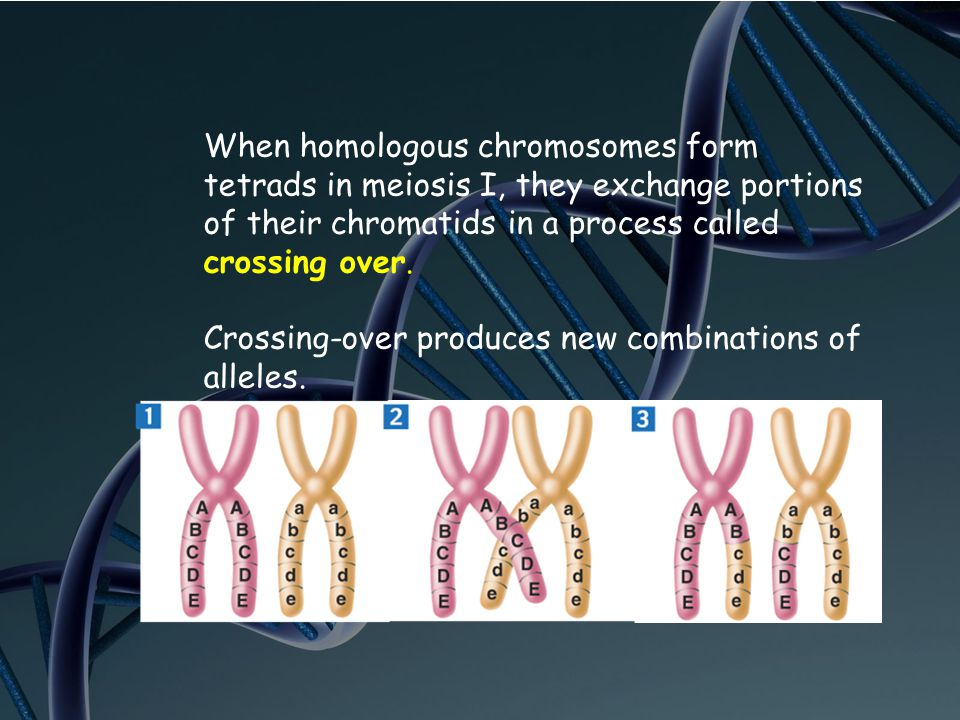 When homologous chromosomes form tetrads in meiosis I, they exchange portions of their chromatids in a process called crossing over.