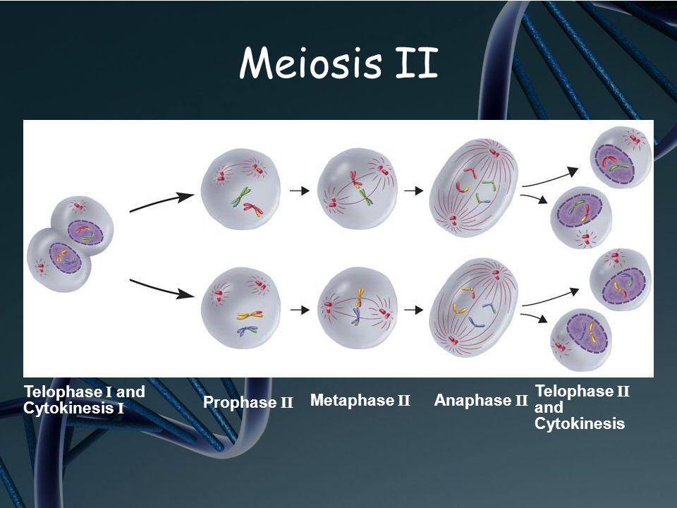 Meiosis II Telophase I and Cytokinesis I Telophase II and Cytokinesis