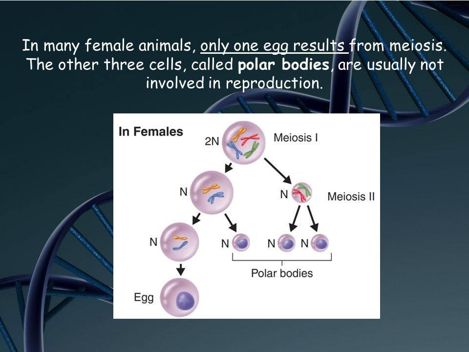 In many female animals, only one egg results from meiosis