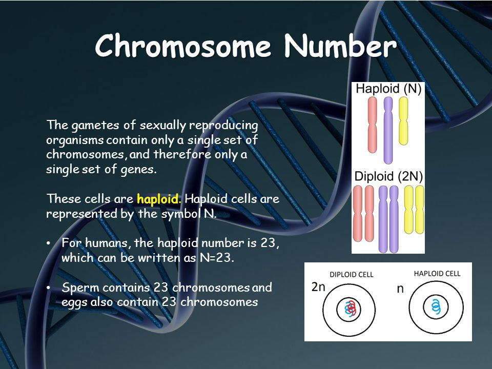 Chromosome Number The gametes of sexually reproducing organisms contain only a single set of chromosomes, and therefore only a single set of genes.