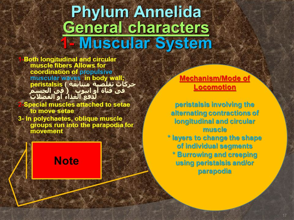 Phylum Annelida General characters 1- Muscular System