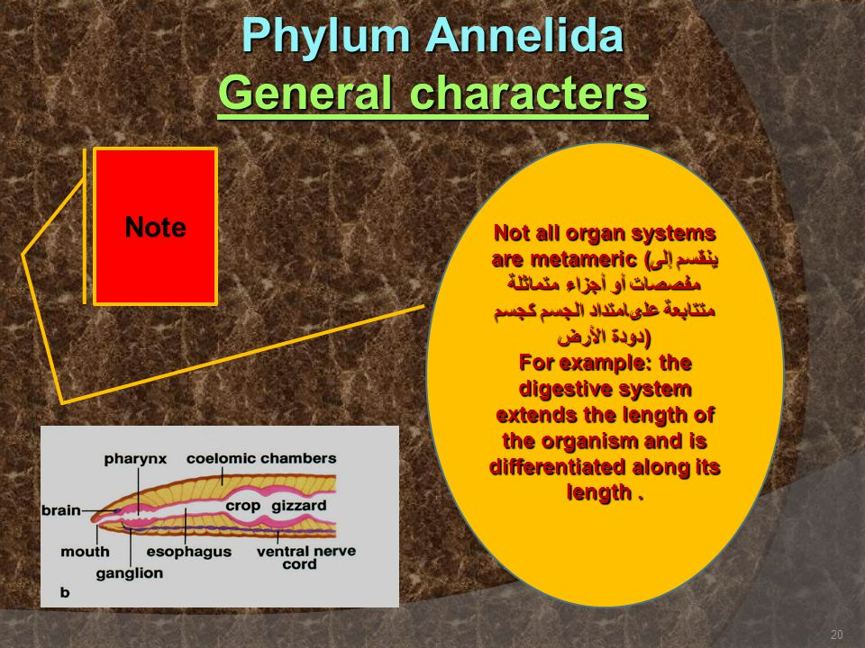 Phylum Annelida General characters