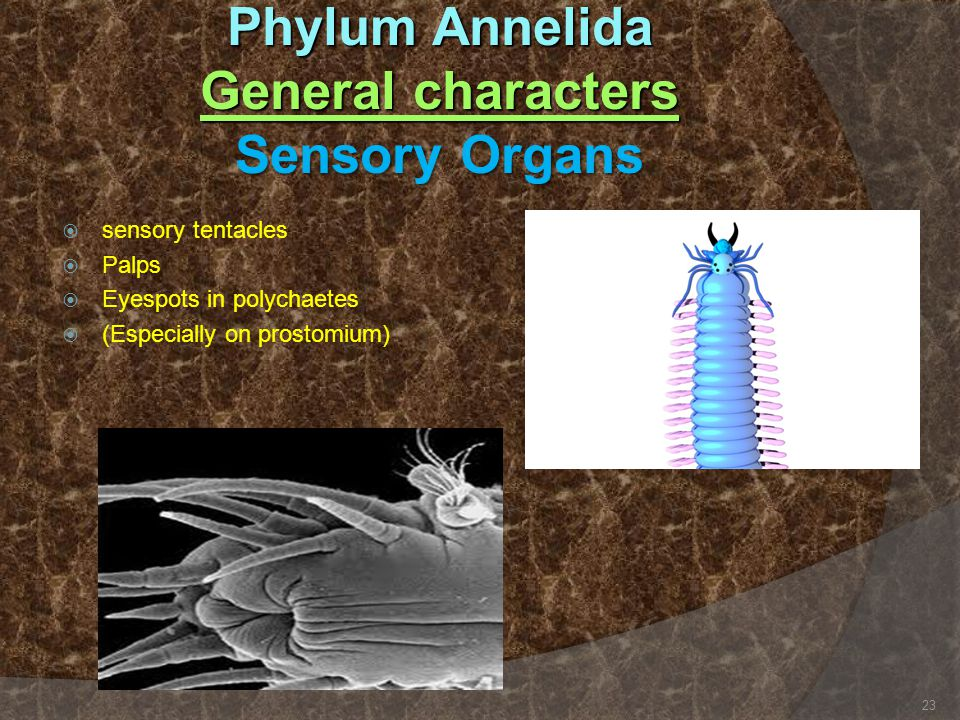Phylum Annelida General characters Sensory Organs