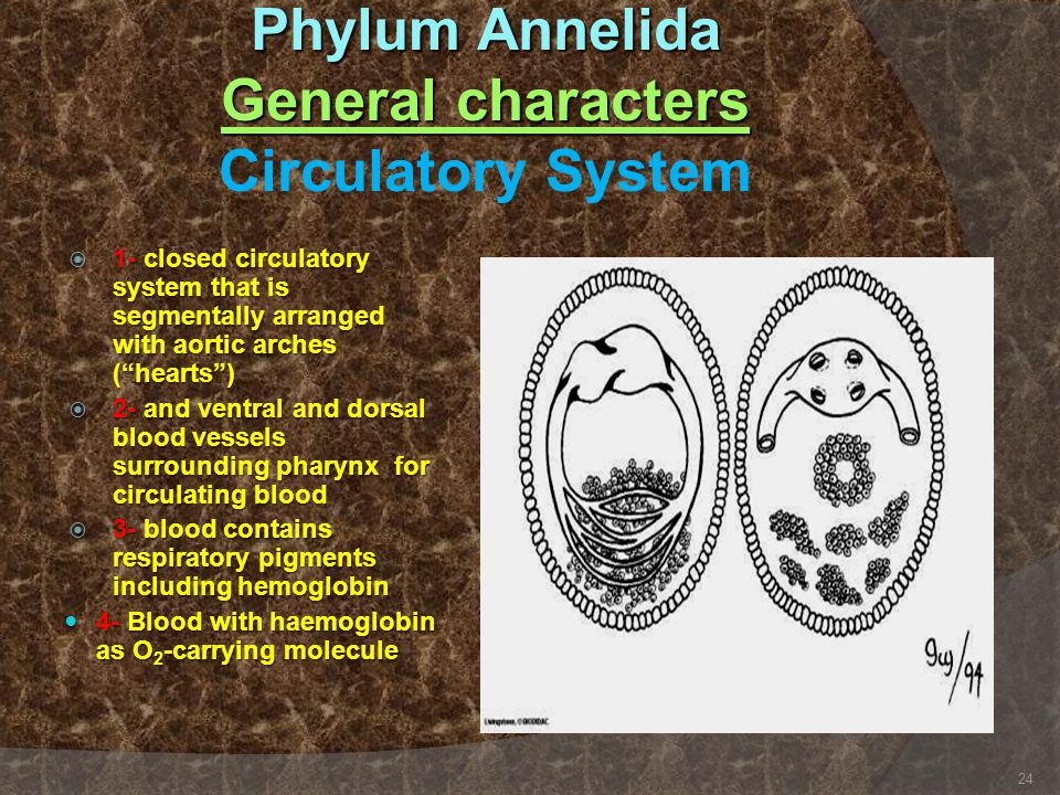 Phylum Annelida General characters Circulatory System