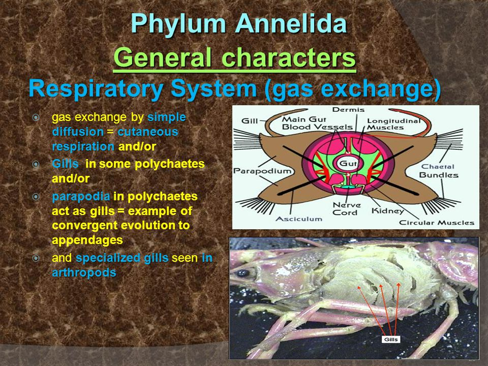 Phylum Annelida General characters Respiratory System (gas exchange)