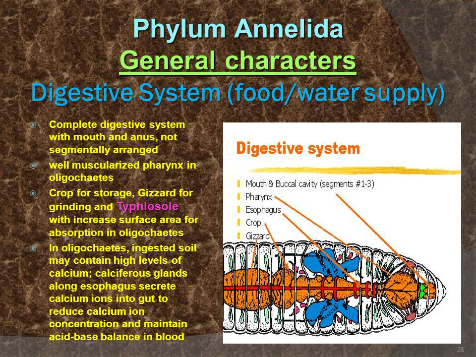 Phylum Annelida General characters Digestive System (food/water supply)