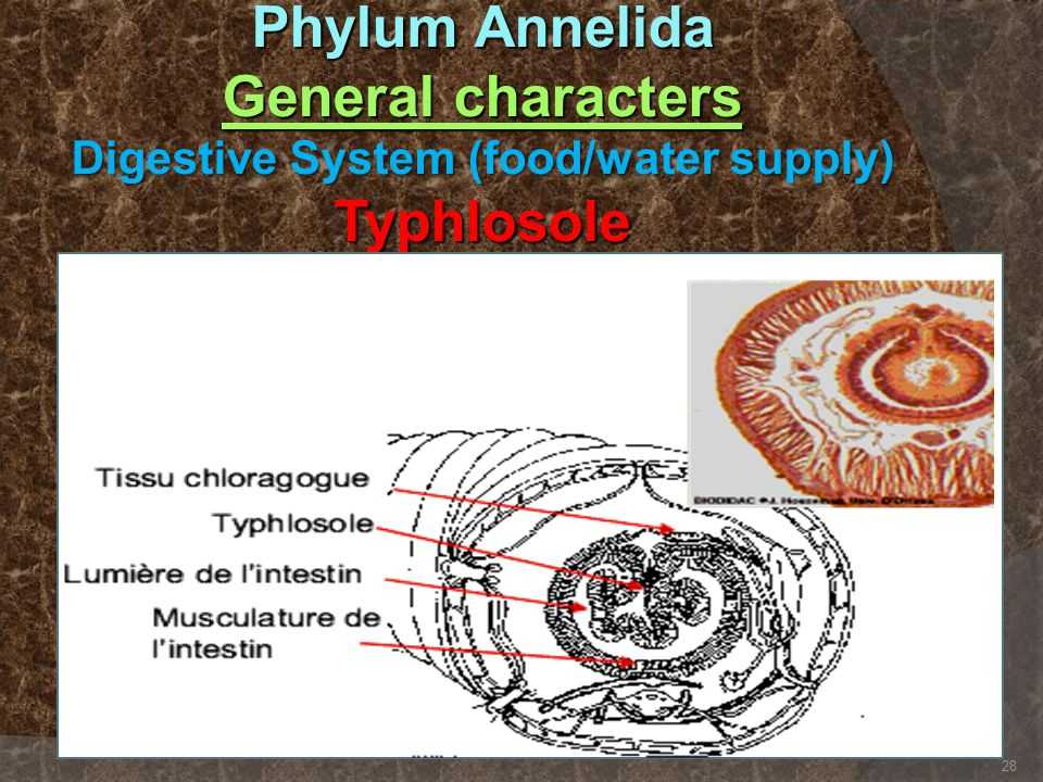 Phylum Annelida General characters Digestive System (food/water supply) Typhlosole
