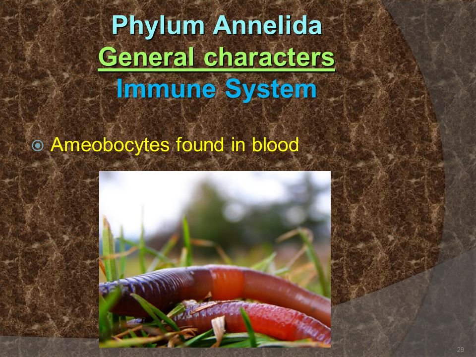 Phylum Annelida General characters Immune System